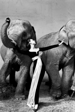 """ Dovima with Elephants by Richard Avedon 